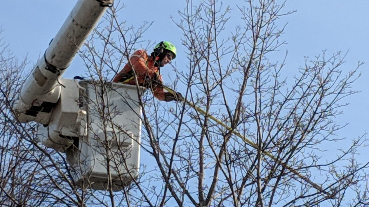 A City of Toronto Forestry staff member in a cherry picker tends to a tree.